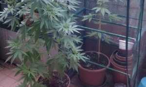 marijuana terrazzo
